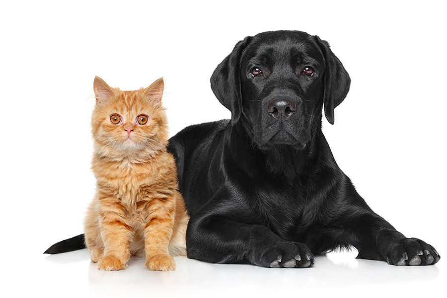 Orange cat and black lab laying down on a white background